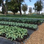 Frieda's Specialty Produce - What's on Karen's Plate? - Gleaning Field