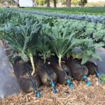 Frieda's Specialty Produce - What's on Karen's Plate? - Kale