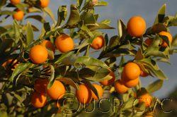 UC Riverside - Marumi Kumquats