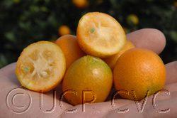 UC Riverside - Meiwa Kumquats