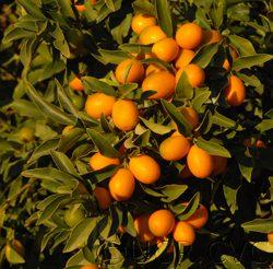 UC Riverside - Nagami Kumquats