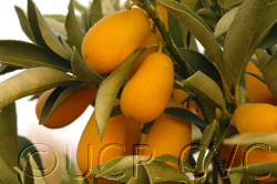 UC Riverside - Nordman Kumquats