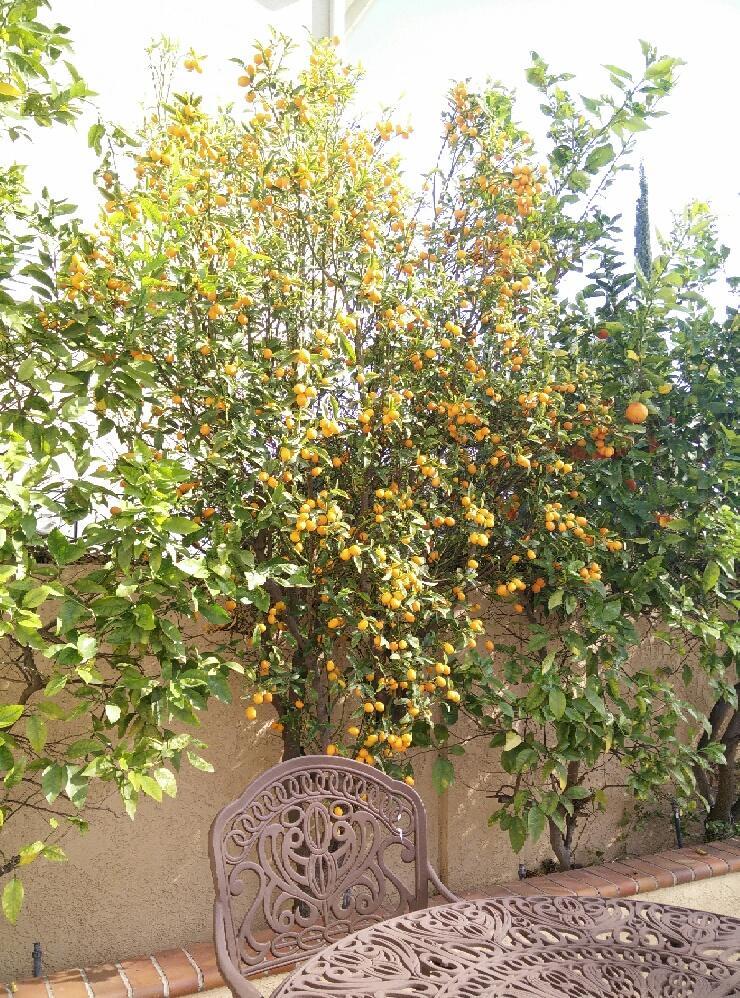 Frieda's Specialty Produce - What's on Karen's Plate? - Karen's kumquat tree