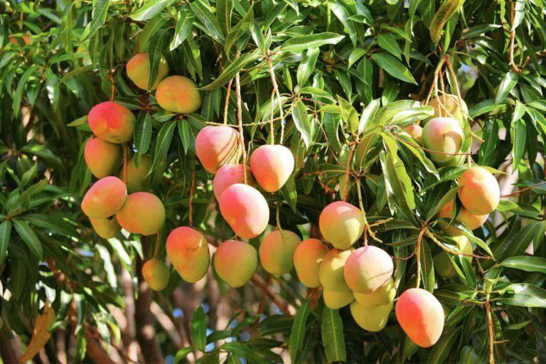 Frieda's Specialty Produce - Australian Mangoes